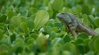 Iguana in the bushes
